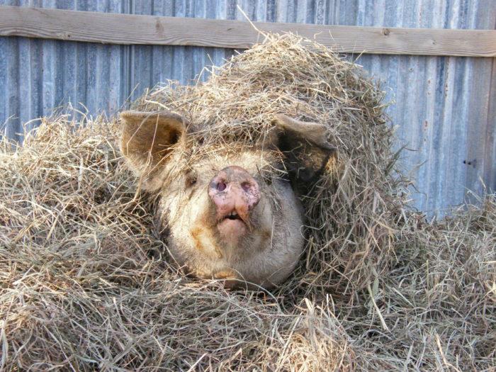 Pig under haystack